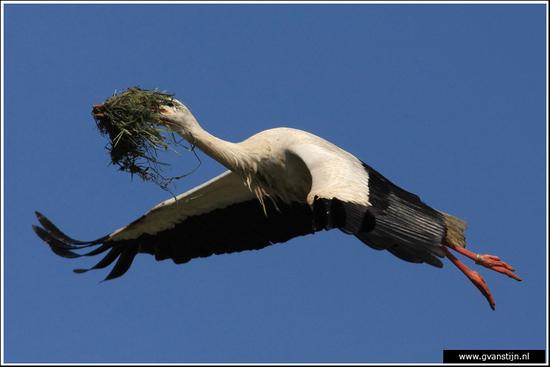 Vogels01 Ooievaar<br><br>Lelystad 040_0625.jpg