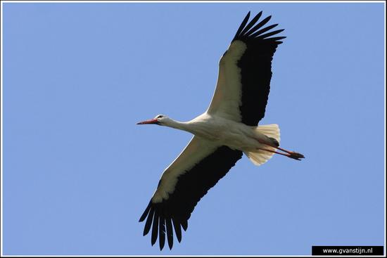 Vogels01 Ooievaar<br><br>Lelystad 050_0661.jpg