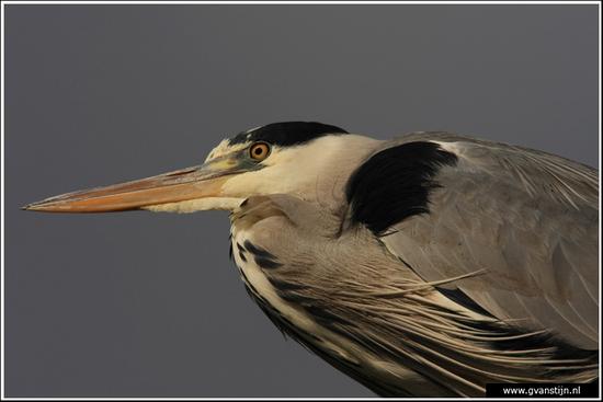 Vogels01 Blauwe reiger<br><br>Schardam 080_0756.jpg