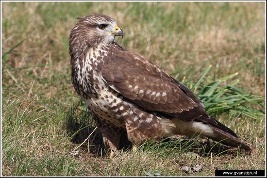 Vogels01 Buizerd<br><br>Ongelooflijk tam, kon tot op enkele meters worden benaderd<br><br>Oostvaardersplassen 130_1351.jpg