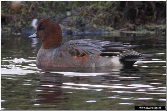 Vogels01 Smient<br><br>Warder 170_2671.jpg