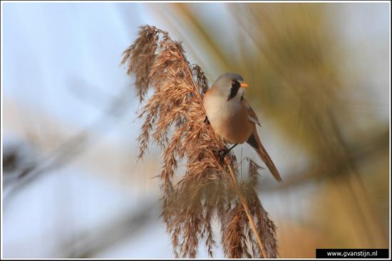 Vogels01 Baardman<br><br>Oostvaardersplassen 180_3176.jpg