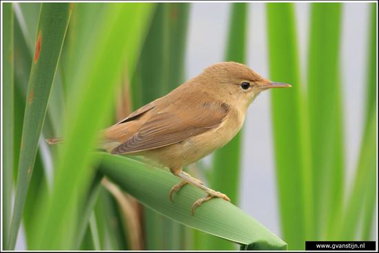Vogels01 Fitis<br><br>Zwanenwater 220_3660.jpg