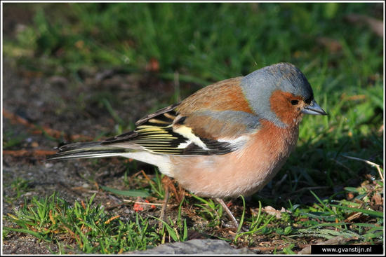 Vogels02 Vink<br><br>Oostvaardersplassen 270_4791.jpg