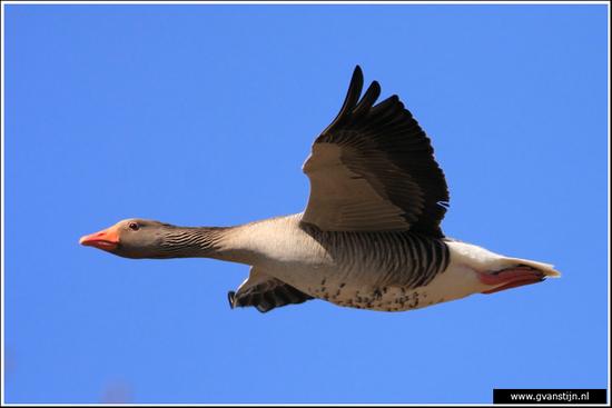 Vogels02 Wilde gans<br><br>Schellinkhout 290_5100.jpg