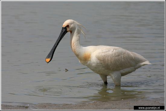 Vogels02 Lepelaar<br><br>Oostvaardersplassen 310_6578.jpg