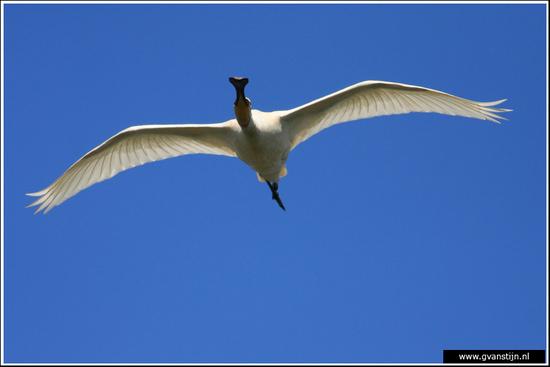 Vogels02 Lepelaar<br><br>Oostvaardersplassen 330_7301.jpg