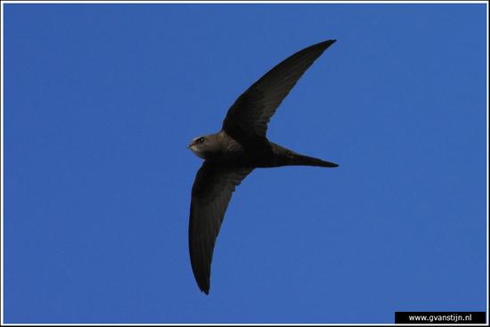 Vogels02 Gierzwaluw<br><br>Oostvaardersplassen<br><br>Moeilijk te fotograferen, zijn razendsnel 340_7437.jpg