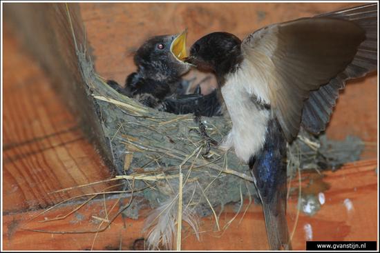 Vogels02 Boerenzwaluw<br><br>Oostvaardersplassen 350_7639.jpg