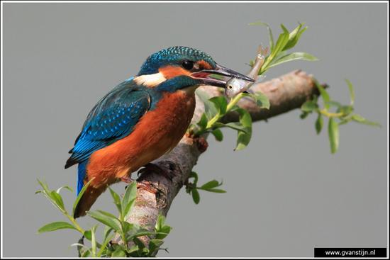 Vogels02 IJsvogel<br><br>Oostvaardersplassen 370_7853.jpg