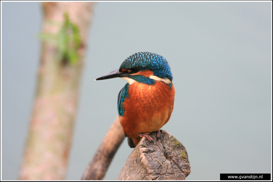 Vogels02 IJsvogel<br><br>Oostvaardersplassen 380_7912.jpg