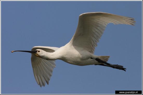 Vogels02 Lepelaar<br><br>Oostvaardersplassen 390_7957.jpg