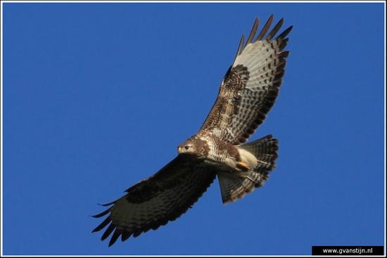 Vogels02 Buizerd<br><br>Oostvaardersplassen 400_8569.jpg