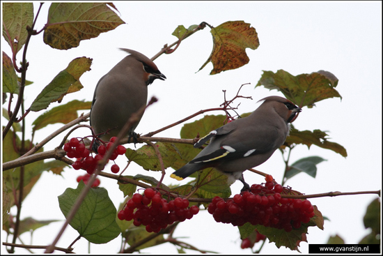 Vogels02 Pestvogel<br><br>Hoorn - Kersenboogaard 410_8678.jpg