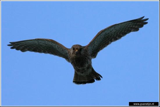 Vogels02 Torenvalk 420_9089.jpg