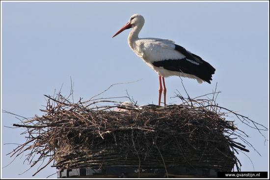 Vogels02 Ooievaar<br><br>Lelystad 440_9164.jpg