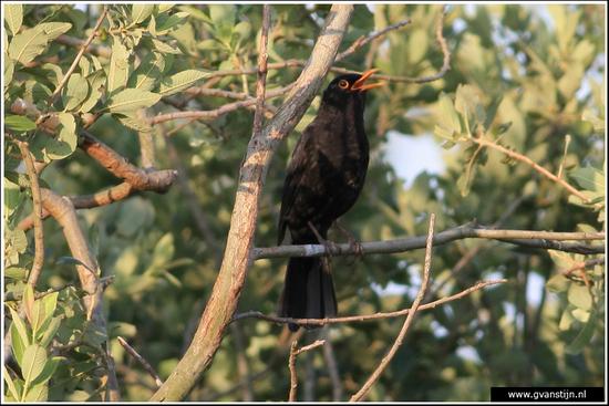 Vogels02 Zingende merel<br><br>Zwanenwater 470_9184.jpg