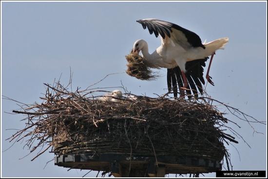 Vogels02 Ooievaar<br><br>Lelystad 480_9184.jpg
