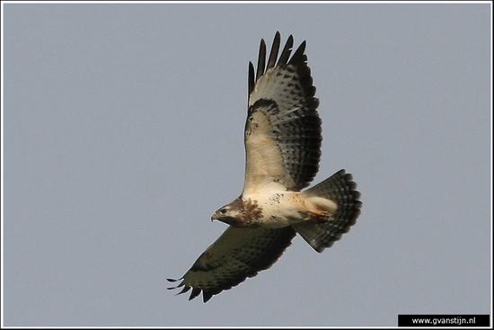Vogels02 Buizerd 490_9240.jpg