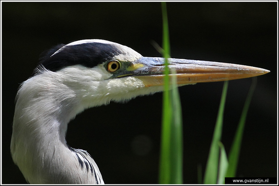 Vogels02 Blauwe reiger - close up<br><br>Amsterdamse Bos 500_9251.jpg