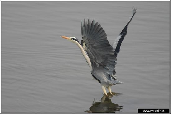 Vogels02 Blauwe reiger 520_9311.jpg
