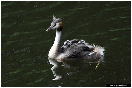 Vogels02 Fuut met jongen op de rug<br><br>Amsterdamse Bos 530_9329.jpg