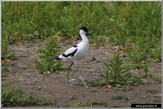 Vogels02 Kluut<br><br>Schellinkhout 550_9467.jpg