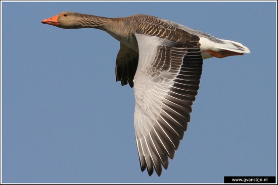 Vogels02 Grauwe gans<br><br>Schellinkhout 560_9549.jpg
