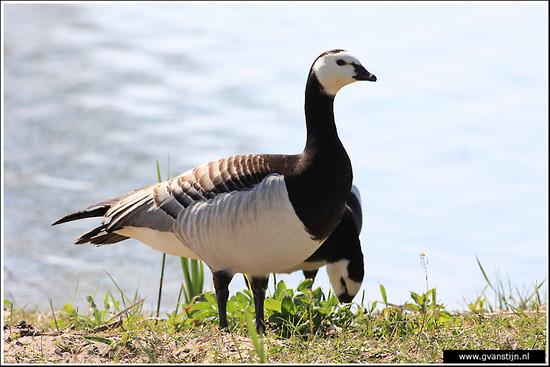 Vogels02 Brandgans<br><br>Schellinkhout 570_9633.jpg
