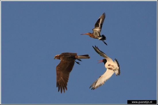 Vogels02 De bruine kiekendief wordt verjaagd door grutto en scholekster<br><br>Schitterend tafereel in het weidevogelgebied bij Zeevang en Warder 590_9719.jpg