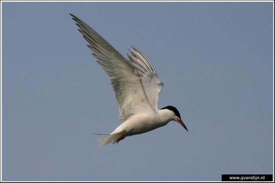 Vogels02 Biddend visdiefje<br><br>Weidevogelgebied Zeevang 600_9898.jpg