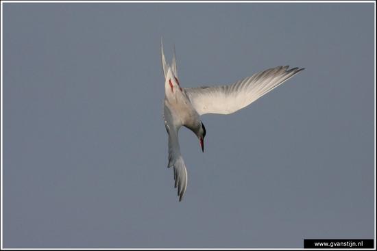 Vogels02 Duikend visdiefje<br><br>Weidevogelgebied Zeevang 610_9932.jpg