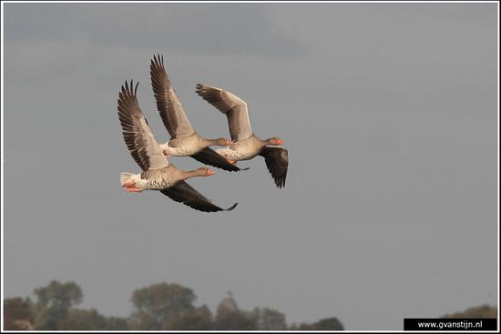 Vogels02 Grauwe ganzen in formatievlucht IMG_0126.jpg