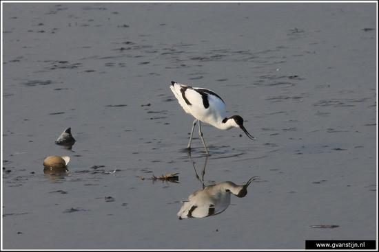 Vogels03 Kluut<br><br>Mooie vogel zo op zijn lange stelten<br><br>Schellinkhout IMG_4782.jpg