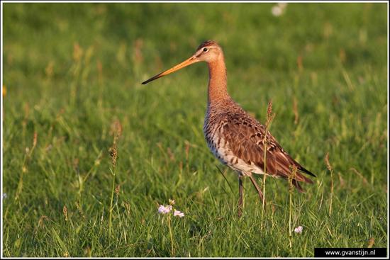 Vogels03 Grutto<br><br>Bobeldijk IMG_4843.jpg