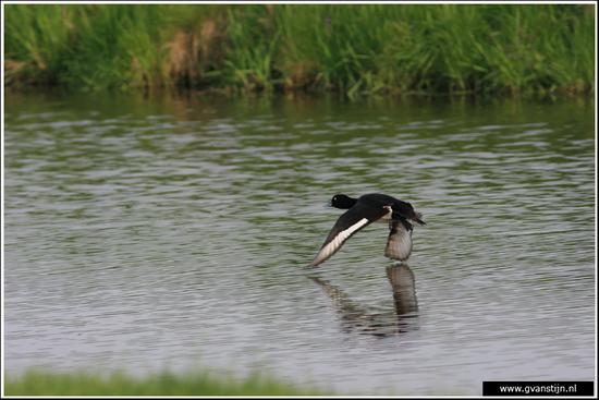 Vogels03 Kuifeend<br><br>Bobeldijk IMG_4939.jpg