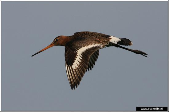 Vogels03 Grutto<br><br>Bobeldijk IMG_4994.jpg