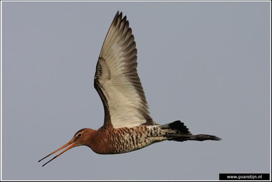 Vogels03 Grutto<br><br>Bobeldijk IMG_4996.jpg
