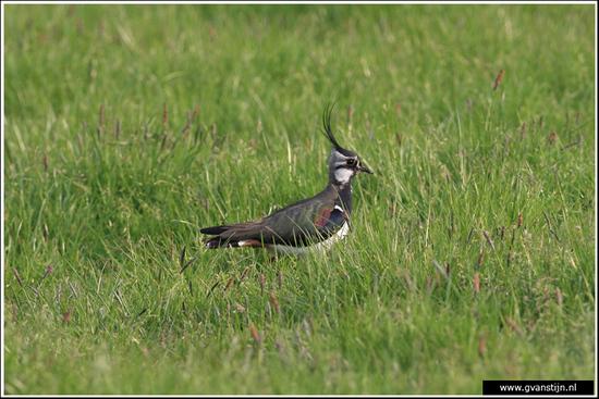 Vogels03 Kievit<br><br>Bobeldijk IMG_5018.jpg