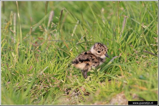Vogels03 Kievitskuiken<br><br>Bobeldijk IMG_5030.jpg