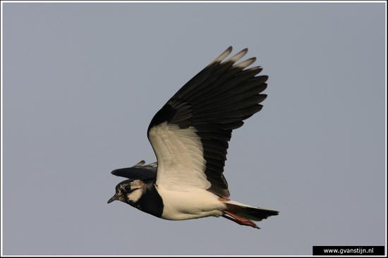 Vogels03 Kievit<br><br>Bobeldijk IMG_5034.jpg