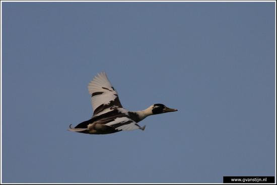 Vogels03 Wilde eend IMG_5122.jpg