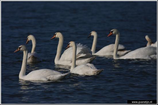 Vogels03 Wilde zwanen<br><br>Markermeer bij Schellinkhout IMG_5137.jpg