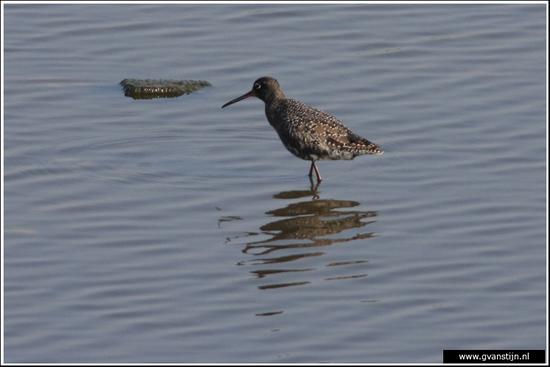 Vogels03 Zwarte ruiter<br><br>Schellinkhout IMG_5175.jpg