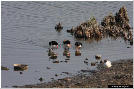Vogels03 Drie zeer opgewonden scholeksters<br><br>Schellinkhout IMG_5188.jpg