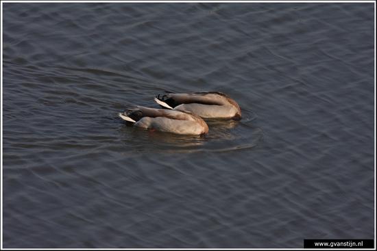 Vogels03 Synchroon zwemmende wilde eenden<br><br>Schellinkhout IMG_5204.jpg