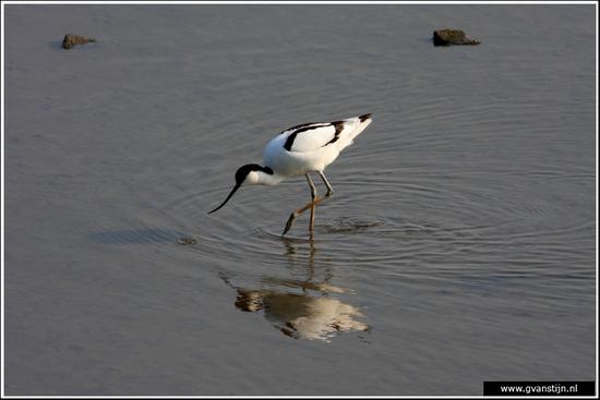 Vogels03 Kluut<br><br>Schellinkhout IMG_5241.jpg