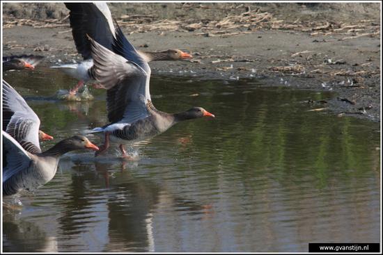 Vogels03 Vliegende start<br><br>Schellinkhout IMG_5244.jpg