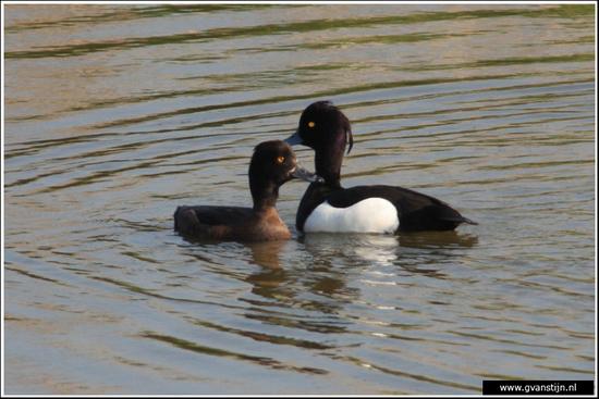 Vogels03 Kuifeenden<br><br>Schellinkhout IMG_5260.jpg