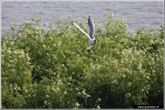 Vogels03 Meeuw met nestmateriaal<br><br>Schellinkhout IMG_5290.jpg